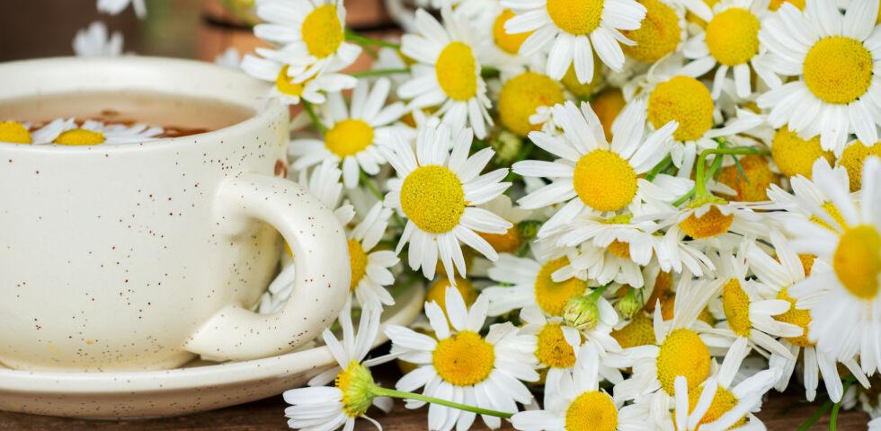 Kamillentee und getrocknete Kamille_Heilpflanzen_shutterstock_1866054382 - Kamille wirkt wundheilend, krampflösend und entzündungshemmend