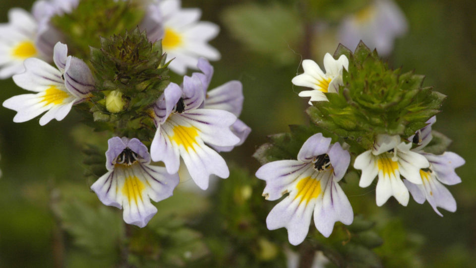 Heilpflanze Augentrost_shutterstock_169746389 - Augentrost ist auch als Euphrasia bekannt.