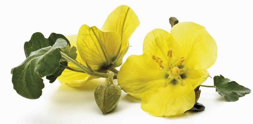 Heilpflanze Nachtkerze - Die hellgelben Blüten der Nachtkerze öffnen sich erst, wenn es dunkel wird und leuchten wie Kerzen in der Dämmerung. Daher ihr Name. - © Shutterstock