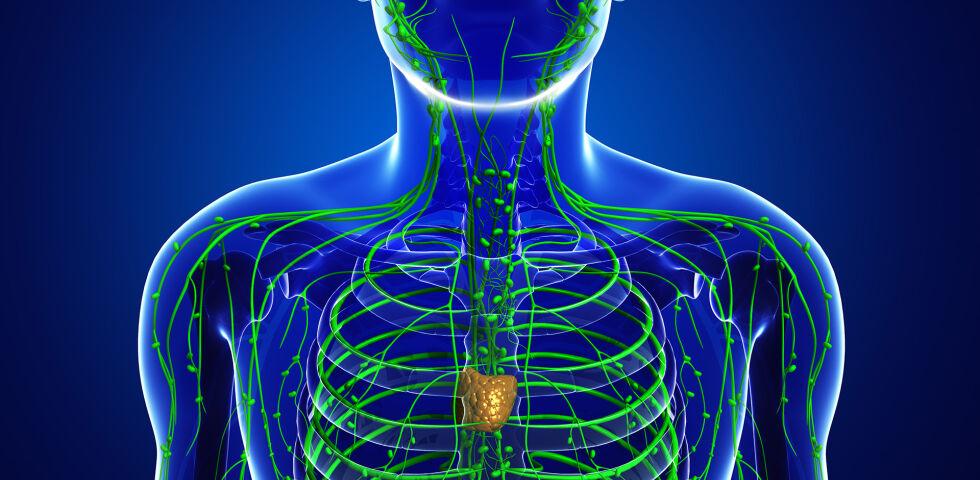 Lymphknoten - Die Lymphknoten fungieren als wichtige Filter unseres Körpers. - © Shutterstock