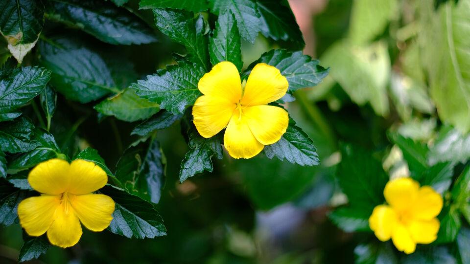 Heilpflanze Damiana_shutterstock_1104021773 - Präparate mit der Heilpflanze Damiana haben auf Männer und Frauen die gleiche Wirkung.