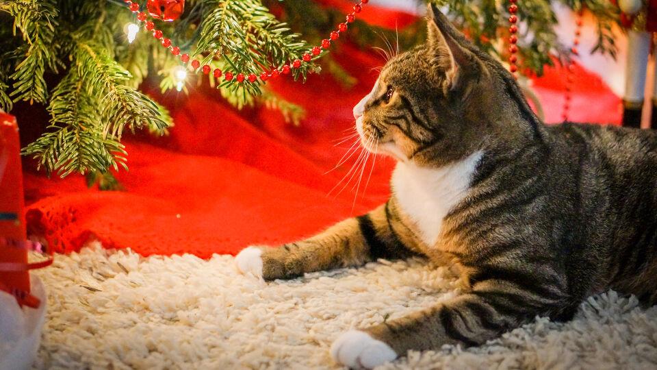 Haustier Katze Weihnachten Christbaum - Wenn ein Vierbeiner ins Haus zieht, sollten Sie auf allerlei Gefahrenquellen achten. - © Shutterstock