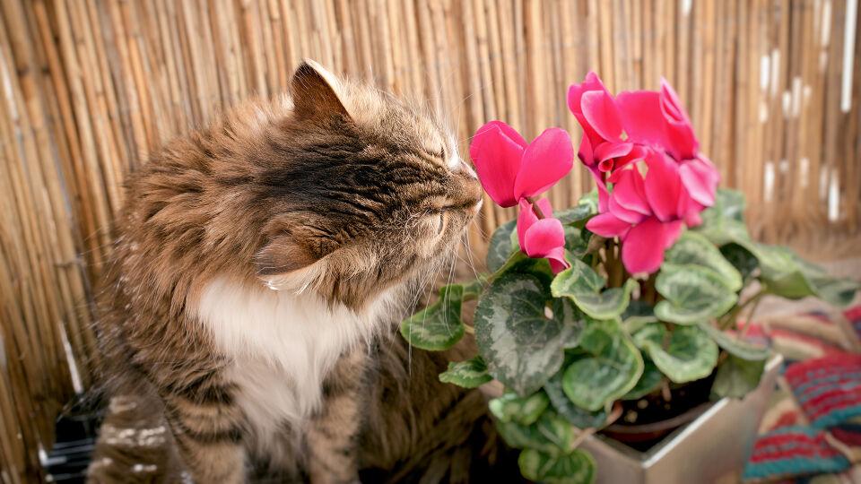 Haustier Katze Pflanze - Es gibt eine ganze Reihe Pflanzen, die Katzen nicht vertragen. - © Shutterstock
