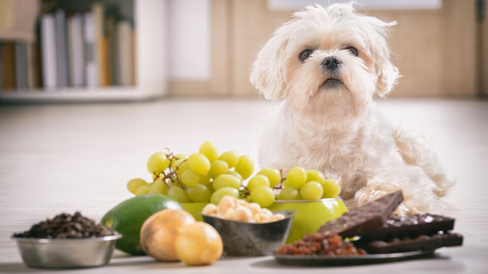 """Haustier Hund Giftige Lebensmittel - Lassen Sie keine """"Futter-Fallen"""" herumstehen. - © Shutterstock"""
