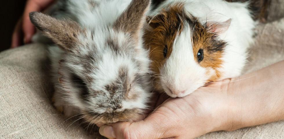 Haustiere Nager Kaninchen Meerschweinchen - © Shutterstock