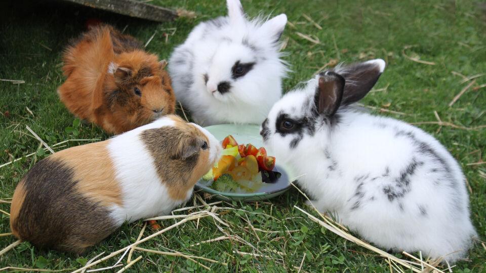 Haustiere Nager Kaninchen Meerschweinchen 2 - © Shutterstock