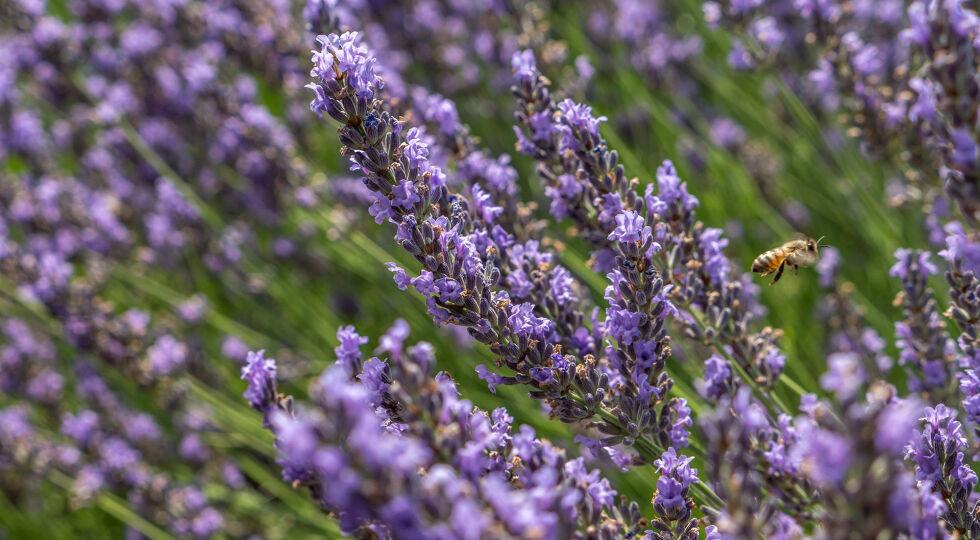 Lavendel_Lavendula angustifolia_Heilpflanzen - Lavendel duftet nicht nur gut, sondern wirkt auch beruhigend. - © Shutterstock