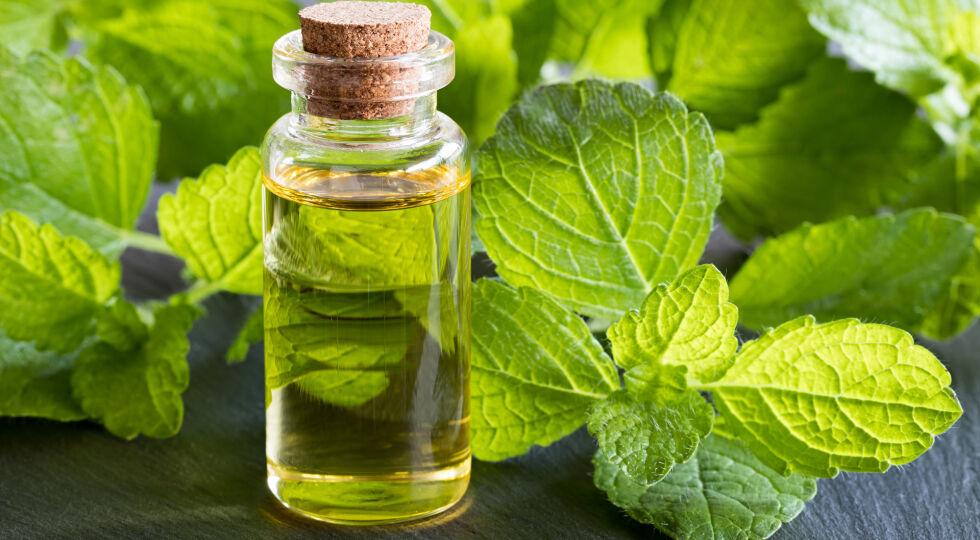 Melisse_Melissa officinalis Heilpflanzen - Melisse hat eine beruhigende Wirkung. - © Shutterstock