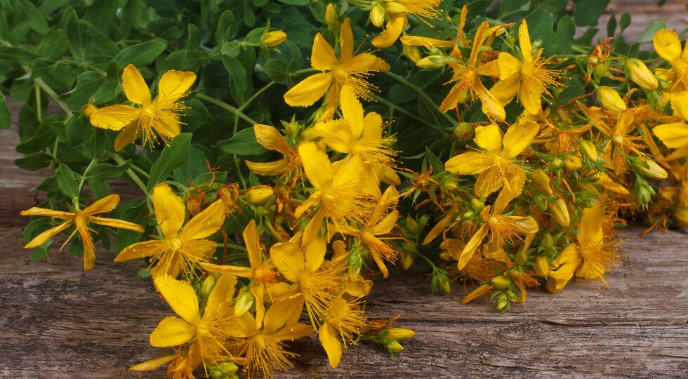 Johanniskraut_Hypericum perforatum_Heilpflanzen - Johanniskraut ist für seine stimmungsaufhellende Wirkung bekannt. - © Shutterstock