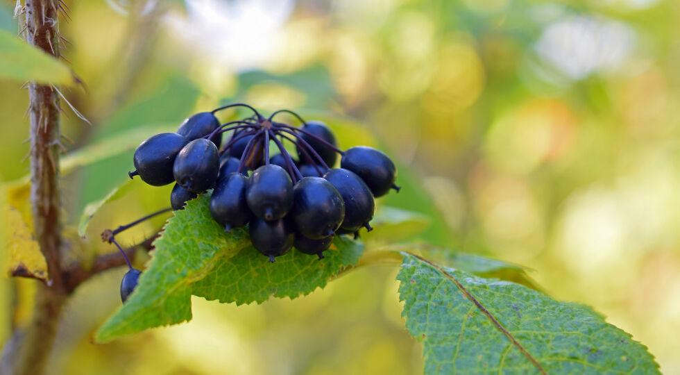 Taigawurzel_Eleutherococcus senticosus_Heilpflanzen - Die Taigawurzel hilft dem Körper dabei, sich selbst zu regenerieren und Stress abzubauen. - © Shutterstock