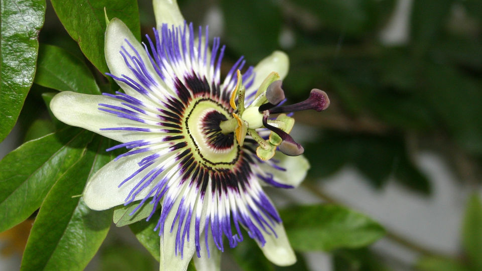 Passionsblume_Passiflora incarnata_Heilpflanzen - Präparate mit Extrakten der Passionsblume wirken ähnlich wie jene mit Melisse: leicht beruhigend und krampflösend. - © Shutterstock